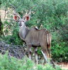 Greater Souther Kudu
