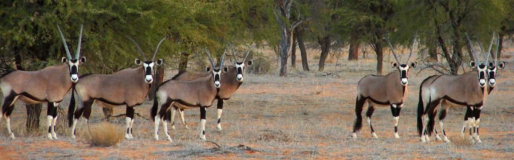 Gemsbok Hunting Namibia