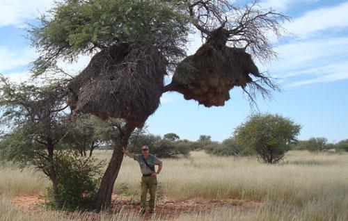 Kalahari Camel thorn tree Namibia