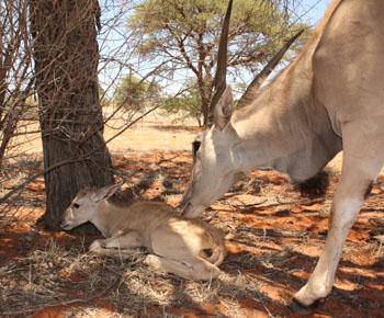 Eland calf