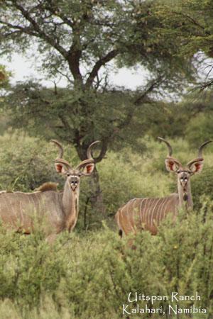 Kalahari Kudu Hunting