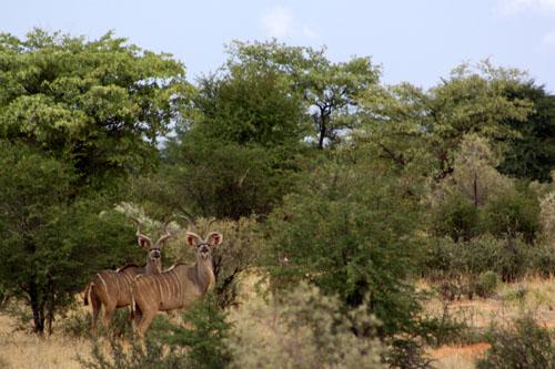 kalahari kudu hunts