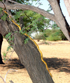 Cape Cobra in tree