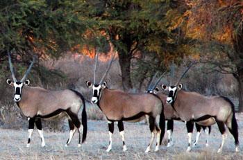 gemsbok trophy hunting