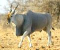 Eland Hunting, Namibia