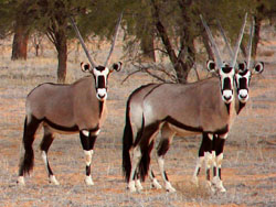 Gemsbok Antelope,hunt gemsbok Namibia