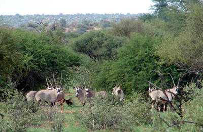 Gemsbok Antelope,Oryx Namibia