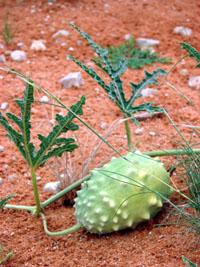 Gemsbokkomkommer, Gemsbok cucumber