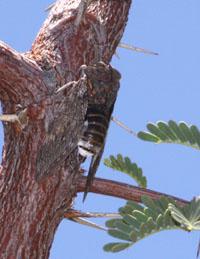 kalahari cicada, sonbesie