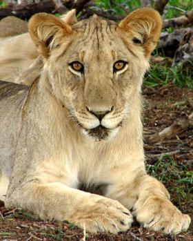 Young Kgalagadi Lion