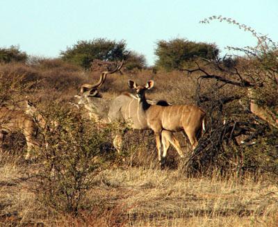 Kudu Hunting Namibia