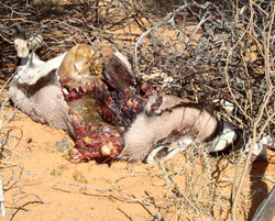 Gemsbok killed by Leopard