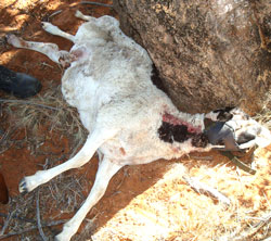 Sheep killed by Leopard