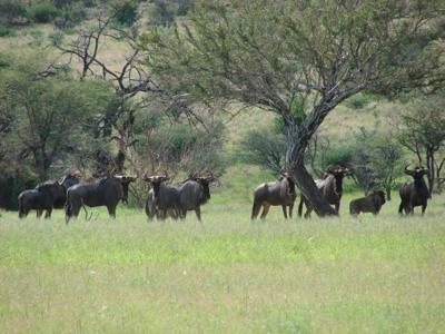 Wary but wise old fools of the veld