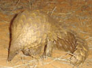 Common Pangolin