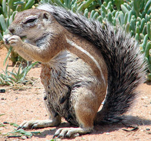 Kalahari Ground Squirrel