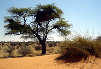 kalahari desert plants