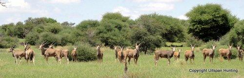 Namibia Hunting Eland
