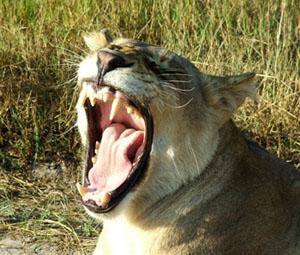 lion yawning,Namibia hunting