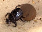 Kalahari Dung Beetle