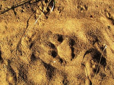 Leopard Track