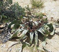 namibia welwitchia plant,namibia travel,welwitchia mirabilis