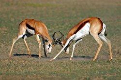 kalahari springbok,Antidorcas marsupialis,springbok antelope,Springbok hunt